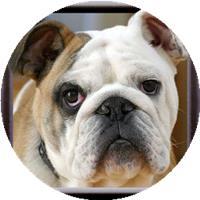 BulldogXX